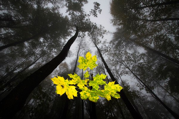 Maple leaves in foggy forest<br>Runner up: Plants and funghiPhoto: Joachim Wimmer GDT