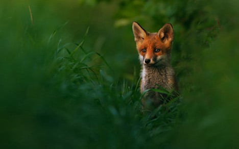Cub photographer wins prize with fox picture