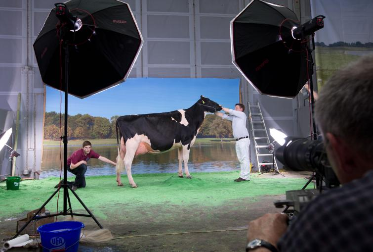 Udderly charming: cow beauty contest