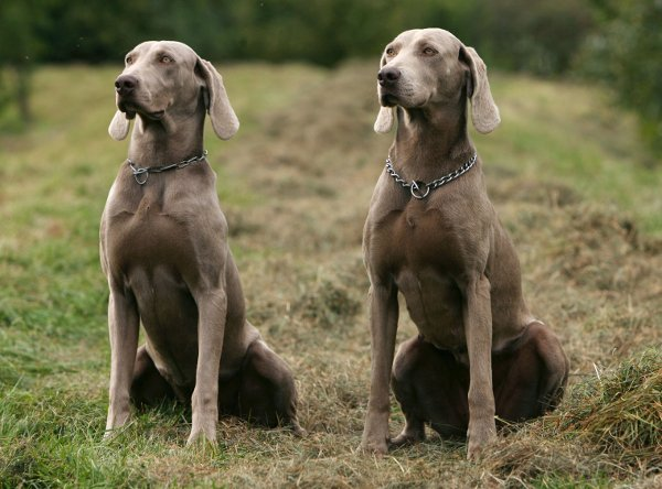 """Should he have been to the eastern city of Weimar, he might have said, """"Ich bin ein Weimaraner"""" - I'm a big grey hunting dog. Woof!Photo: DPA"""
