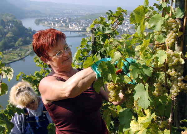 <b>Vineyard:</b> Love wine? Working on a vineyard will let you spend your days outdoors and find out how wine is made. Germany's vineyards are located around the Mosel and Rhine rivers. Photo: DPA