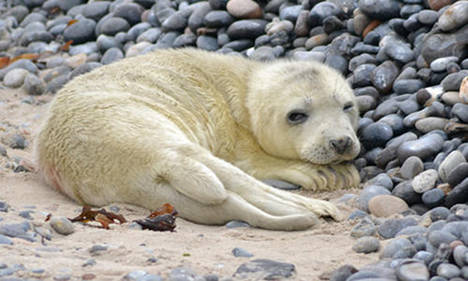 Dozens of seal pups missing after hurricane