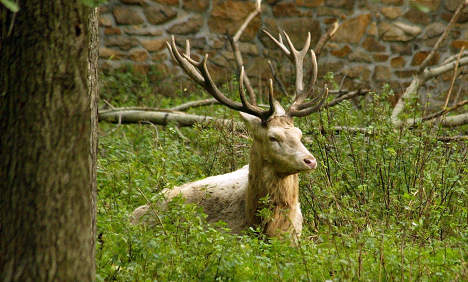 Rare white stag shot and beheaded