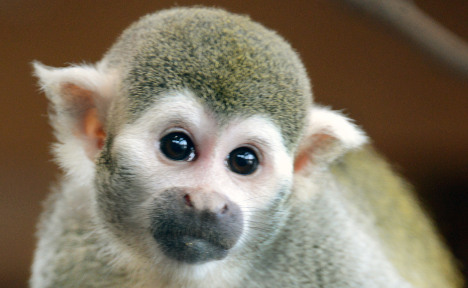 Monkey stud moved after making 50 babies
