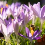 Crocuses and snowdrops have been blooming and winter has been declared officially over by weather experts.Photo: DPA