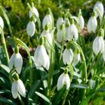 A patch of snowdrops in a garden at Langenhagen, near Hannover in Lower Saxony, pictured on Sunday.Photo: DPA