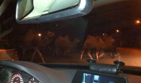 Camels get the hump and run away from the circus