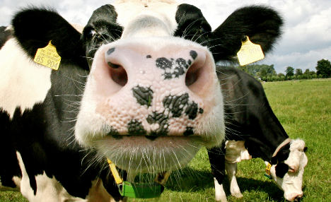 Maize lunch 'makes cow burps better for climate'