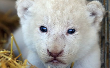 Newborn white lion cubs are pride of the circus