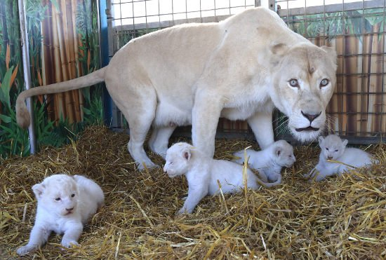 White lion cubs born in circus