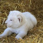 Instant fame can be exhausting, but this lion cub has a straw bed to take a break.Photo: Photo: DPA