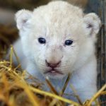 A newborn lion cub seems puzzled when confronted with photographers.Photo: Photo: DPA
