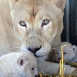 Mother Princess nuzzles her newborn cubs while keeping an eye on the press.Photo: Photo: DPA
