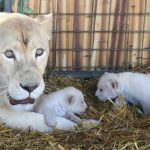 Newborn lion cubs play around their mother Princess' feet as she warns photographers against getting too close.Photo: Photo: DPA