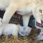 Mother Princess bares her teeth at photographers as she protects her cubs.Photo: Photo: DPA