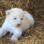 A cub seems unfazed by all the attention as it takes a rest on the straw.Photo: Photo: DPA