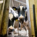 Cows have hit headlines twice this week, with one escaped animal goring a jogger in Munich and dairy farmers complained about a squeeze on prices by supermarkets following sanctions on Russia.Photo: Photo: DPA