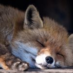 <b>The fox says <i>wa-pa-pa-pa-pa-pa-pow</i>:</b> Unfortunately, German offers no linguistic insight as to what the Fox says (though this one may be snoring, or <i>schnarchen</i>), so we'll have to defer to Ylvis on this one. Photo: DPA