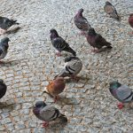 <b>The pigeon says <i>ruckidiguh</i>:</b> Germans seem to think a <i>coo</i> is too simple to describe what it is a pigeon does. Meanwhile, crows say <i>krah</i> and their little sparrow friends <i>zwitscher</i>. Photo: DPA