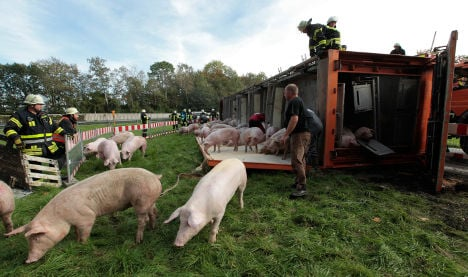 Crash gives pigs brief reprieve from slaughter