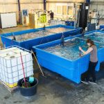 Saltwater fish farming in Völklingen: Surprisingly, the Saarland is host to a saltwater fish farm – 600 kilometres from the sea. The farm has been plagued by problems since its opening in 2008, with construction delays and the bankruptcy of a private investor. Betweem €15m and €20m has been invested, but sales have been disappointing.Photo: DPA