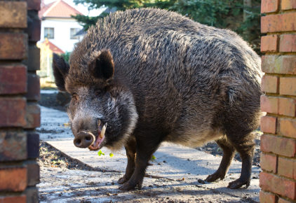 Hesse Greens plan to cull wild boar