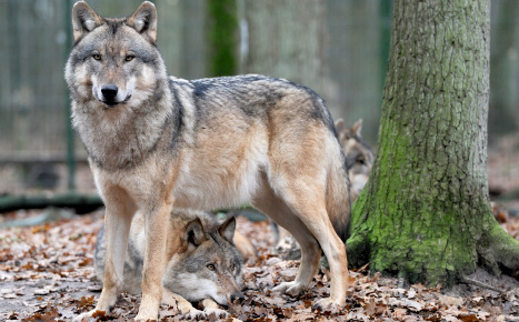 Wolf decapitator hunted by police