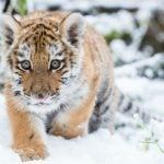 Dragan the Siberian tiger (born in October 2014) trots through the snow at the Zoo Eberswalde. Photo: DPA