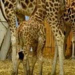 The zoo in Gelsenkirchen welcomed its own New Year's Baby with a little giraffe born on January 2, 2015. Photo: DPA