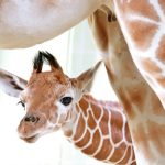 It's a girl! In Karlsrühe, mama Wahia welcomed the first baby giraffe born at the zoo on January 23. Photo: Fränkle/Stadt Karlsruhe