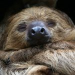 A sloth at the Rostock Zoo in northern Germany takes a winter nap. Photo: DPA