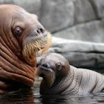 A walrus mama introduces her son to the world at the Tierpark Hagenbeck in Hamburg.  Photo: DPA