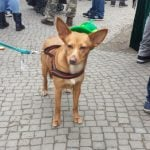 """""""Pixie is Irish because I'm Irish,"""" said dog owner Morrin, who moved to Berlin from Ireland. """"She thinks St. Patrick's Day is fun.""""Photo: Emma Anderson, The Local"""