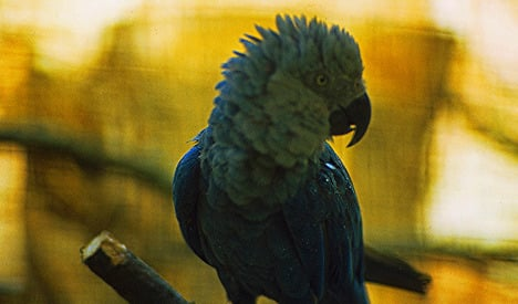 German macaws go forth and multiply in Brazil
