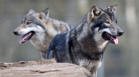 Kids' school trip cancelled over wolf fears