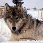 <b>Wolves</b> – Although not popular with everyone, the wolf has made a return to the Federal Republic in significant numbers for the first time in a century. One has even been hunting on the outskirts of Munich in recent weeks.Photo: Wikimedia Commons