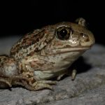 """<b> Garlic toad </b> – Belonging to the species of European spadefoot toad, this endangered sub-species is mainly found in eastern and northern Germany. They have hardened protrusions on their feet used for digging in sandy soil, which is where the name """"spadefoot"""" comes from.  When alarmed, they emit a very loud call and give off a strong smell of garlic. Photo: via Peter Fanda: http://bit.ly/1LaNWSa"""