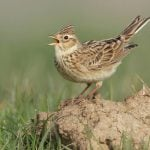 """<b> Eurasian skylark </b> – Known in German as """"Feldlerche"""", the skylark is quite common throughout Europe, but in Germany it is endangered after a 30 percent decrease in numbers since the 1980s. They are known for the song of the male, which is delivered in hovering flight from heights of 50 to 100 m.Photo: via Nell Smith: http://bit.ly/1ILbEXQ"""