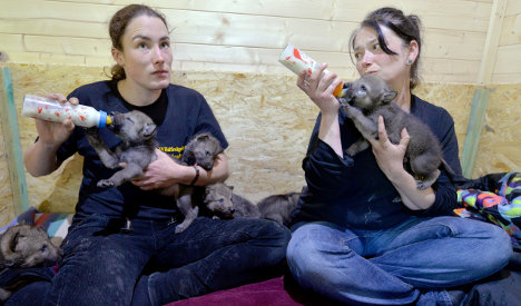 Hand-raised cubs to boost wolf numbers