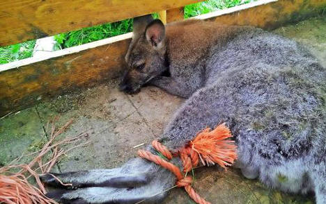 Wallaby goes walkabout in Berlin outback