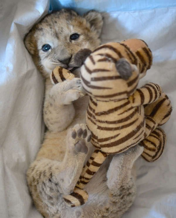 Malor the lion cub to be reintroduced to mother