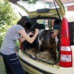 Woman tries to take pony abroad in a car boot