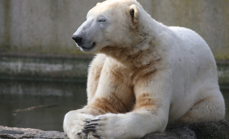 Knut autopsy could help human disease sufferers