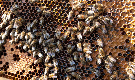 Swarm of bee thefts angers German apiarists