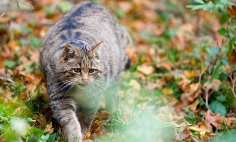 Give tomcats the snip or lock 'em up: government