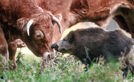 Not-so-wild boar finds home in herd of cows
