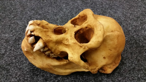 Customs seize 'stinking' ape skull from traveller's luggage