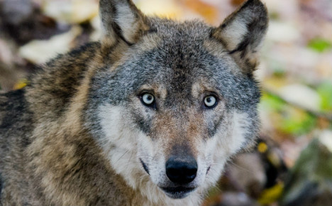Berlin to teach Germans how to dance with wolves