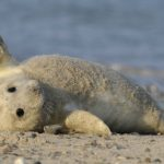Record numbers of baby seals born on North German islands