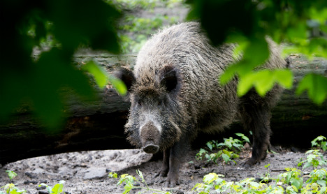 Wild boar droves refuse to let Cologne dead rest in peace